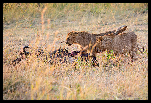 Two Lions feasting on Wildebeest