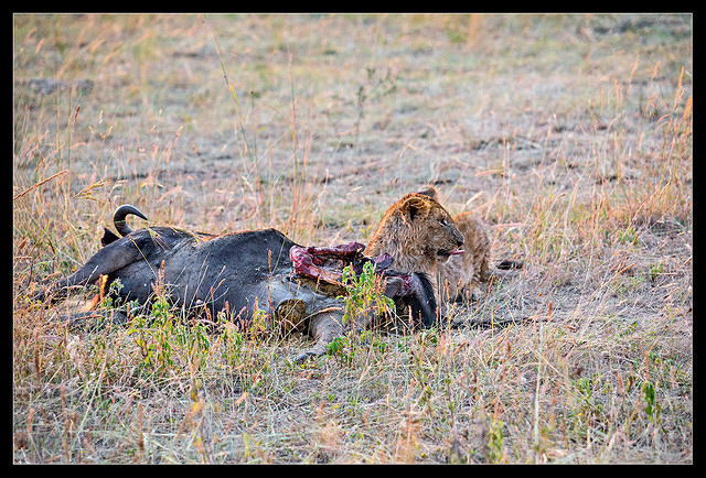 Lion feasting on Wildebeest