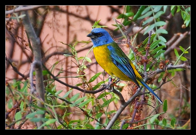 Blue-and-yellow Tanager