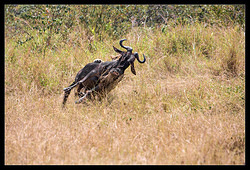 Lion attacking Wildebeest nr.1