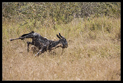 Lion attacking Wildebeest nr.2