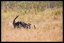 Lion attacking Wildebeest nr.3