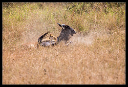 Lion attacking Wildebeest nr.4