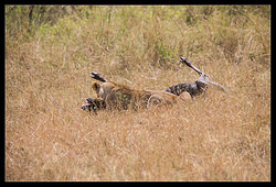 Lion attacking Wildebeest nr.6