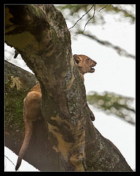 Lion cub on the tree