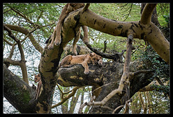 Lion family resting on the tree