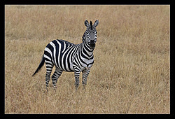 Plains zebra - (NEW)