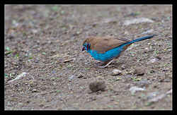 Red-cheeked Cordon-bleu (male)