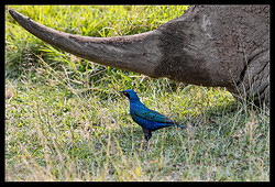 Ruppells Long-Tailed Starling (NEW)