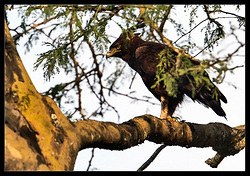 Long-crested Eagle - (NEW)