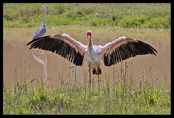 Yellow-billed Stork - (NEW)