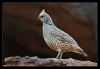 Scaled Quail - (Callipepla squamata)