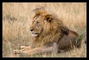 The lion (Panthera leo)