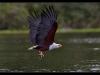 African Fish Eagle - Haliaeetus vocifer