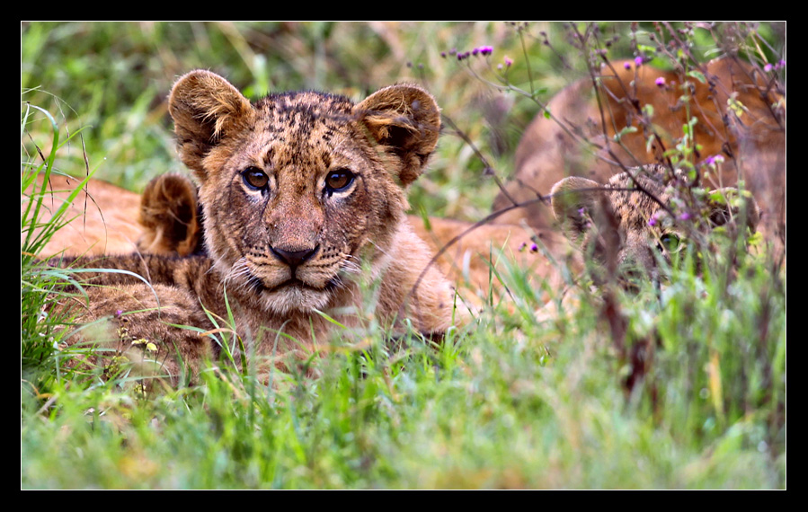 The lion (Panthera leo)